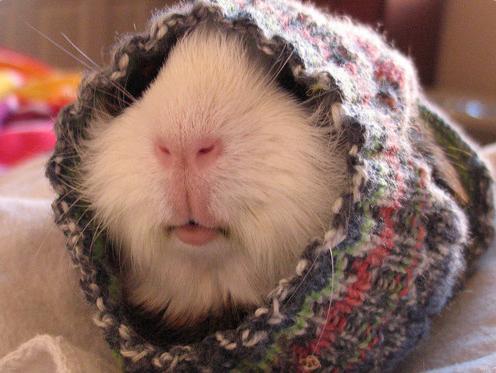 Guinea Pig sweater